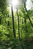 Drzewa leśne — Zdjęcie stockowe