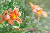 Hemerocalli flower — Stock Photo