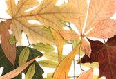 Kuru sonbahar yaprakları — Stok fotoğraf