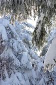 Snow-covered tree — Stock Photo