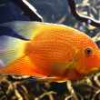 Exotic aquarium fish — Stockfoto #39126513