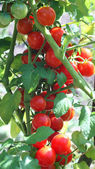 Tomatoes on the vine — Stock Photo