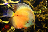 Exotic aquarium fish — Stockfoto