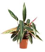 Indoor plant — Stock Photo