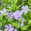 Periwinkle flower close-up — Stock Photo #45996277