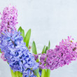 Three hyacinth — Stock Photo