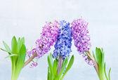 Hyacinth Trio — Stock Photo
