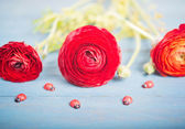 Three red buttercups and ladybugs — Stock Photo