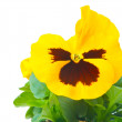 Yellow purple pansy — Stock Photo