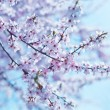 Cherry blossoms — Stock Photo #24743693