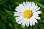 One daisy — Stock Photo