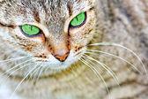 Gestreepte kat met groene ogen — Stockfoto