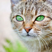 Striped cat with green eyes — Stock Photo