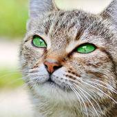 緑色の目で縞模様の猫 — ストック写真
