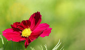 Cosmos flower on a green background  — Stock Photo