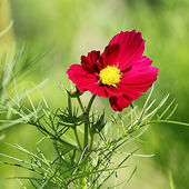 Cosmos flower on a green background  — Stok fotoğraf