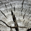 Cross section of split tree trunk background close — Stock Photo