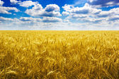 Field wheat — Stock Photo