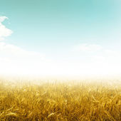 Field wheat — Stock Photo