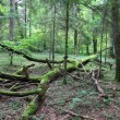 Bialowieza - primeval forest — Stock Photo