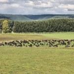 vee in Nieuw-Zeeland — Stockfoto
