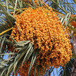 Stock Photo: Date palm (Phoenix dactylifera)