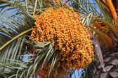 Date palm (Phoenix dactylifera) — Stock Photo