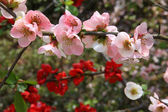 Japanese Quince — Stock Photo