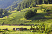 Switzerland vineyard — Stock Photo