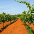 Stock Photo: Vineyard in Croatia
