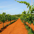 Vineyard in Croatia — Stock Photo #30150033