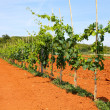Vineyard — Stock Photo #30150461