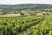 Burgenland vineyard — Stock Photo