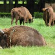 Stock Photo: European bisons