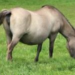 Pregnant mare — Stock Photo