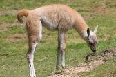 Baby Alpacka — Stockfoto