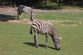 Zebras — Stock fotografie