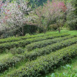 Tea field in Japan — Stock Photo