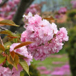 Pink cherry blossoms — Stockfoto