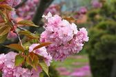 Pink cherry blossoms — Stock Photo