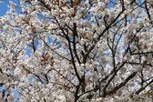 Kyoto cherry blossom — Stock Photo