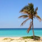 Cuba palm tree — Stock Photo #36040243