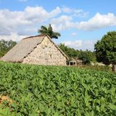 Cuba tobacco plantation — Stock Photo
