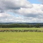 新西兰农业 — 图库照片