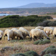 Sheep in Cyprus — Stock Photo #50002671