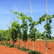 Grapevine in Croatia — Stock Photo #50883291