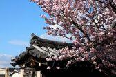 Cherry blossom in Kyoto — Stock Photo