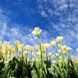 Stock Photo: White tulips bloom in the spring sun
