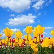 Showy spring blooming of yellow tulips — Stock Photo
