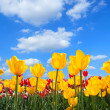 Stock Photo: Showy spring blooming of yellow tulips